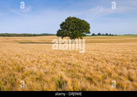 English Oak / Pendulate Oak (Quercus robur), solitary tree in wheat field in summer - Stock Photo