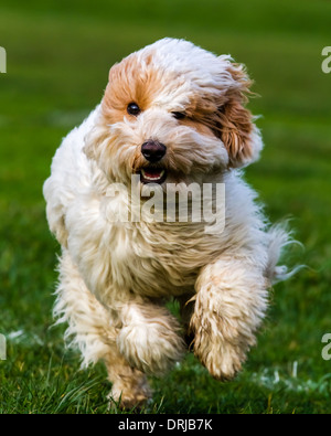 Cockapoo running - Stock Photo
