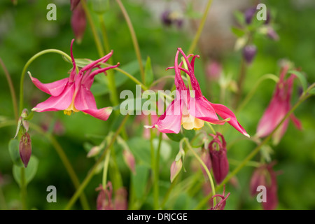 Pink aquilegia flowers (long spurred hybrids) - Stock Photo