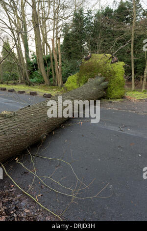 Sevenoaks, Kent. 27th Jan, 2014. A mature tree blown over in winds and rain at the top of Sevenoaks Kent, White - Stock Photo