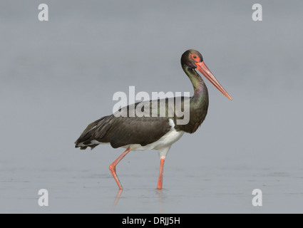 Black Stork - Ciconia nigra - Stock Photo
