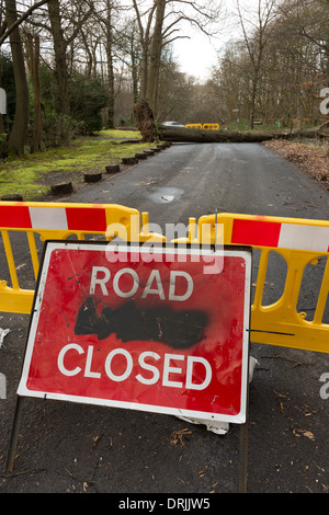 A mature tree blown over in winds and rain at the top of Sevenoaks causing road closure - Stock Photo
