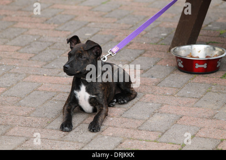 Dark brindle Staffie, Staffordshire Bull Terrier puppy laid on the ground on guard - Stock Photo