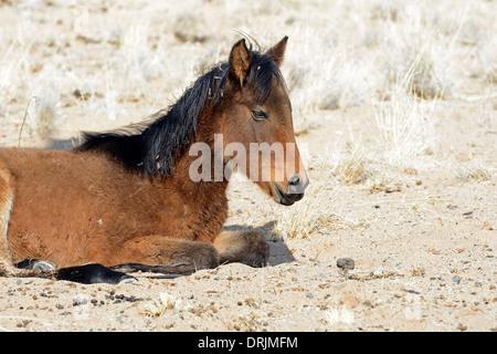 Wild horse, foal in Garub with From, Namibia, Africa, Wildpferd, Fohlen in Garub bei Aus, Afrika - Stock Photo