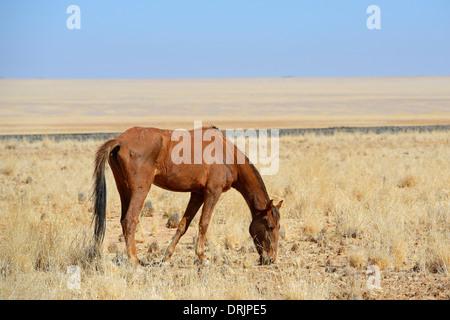 grazing wild horses in Garub with From, Namibia, Africa, grasende Wildpferde in Garub bei Aus, Afrika - Stock Photo