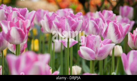Group of purple and white tulips at the Skagit Valley Tulip Festival in Washington State. - Stock Photo