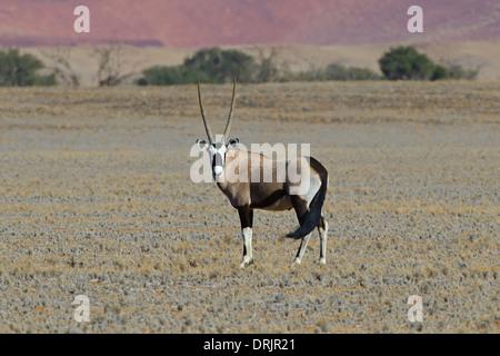Spit goat, Oryx antelope Oryx gazella in the Namib Naukluft national park, Sossusvlei, Namibia, Africa, Spiessbock, - Stock Photo
