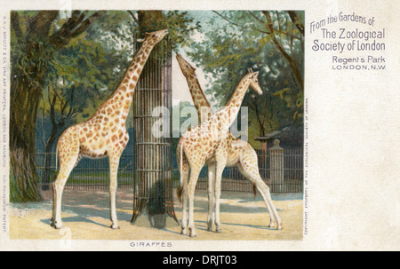 Giraffes in the Gardens of the London Zoological Society - Stock Photo