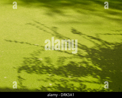 Duck weed in pond - Stock Photo