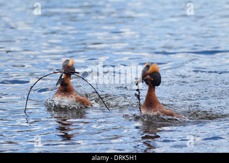 Slavonian Grebe. Horned Grebe (Podiceps auritus). Couple in breeding plumage on water, displaying. Sweden - Stock Photo