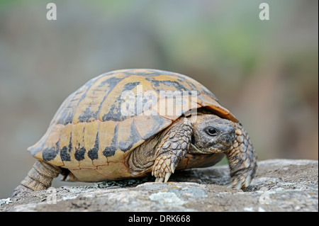 Eastern Hermann's Tortoise, Boettger's Tortoise, Greek Tortoise (Testudo hermanni boettgeri), Greece, Europe - Stock Photo
