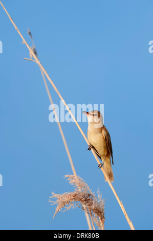 Great Reed Warbler  (Acrocephalus arundinaceus), male, Greece, Europe - Stock Photo