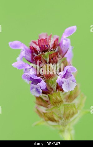 Common Selfheal (Prunella vulgaris, Brunella vulgaris) , North Rhine-Westphalia, Germany, Europe - Stock Photo