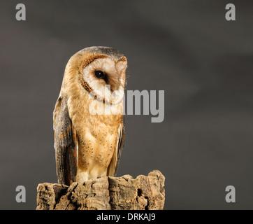 African Barn Owl - Stock Photo