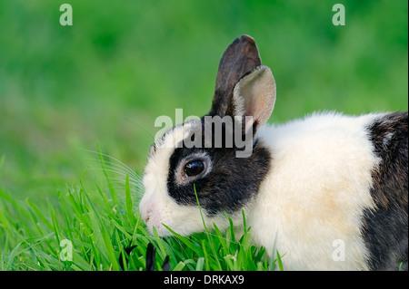 Dwarf Rabbit (Oryctolagus cuniculus forma domestica) - Stock Photo