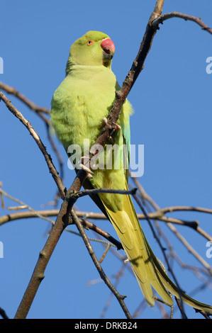Female Ring-necked parakeet (Psittacula krameri) perched on branch - Stock Photo