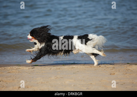 Netherlands, Texel, Cavalier King Charles Spaniel running at shore of the sea - Stock Photo