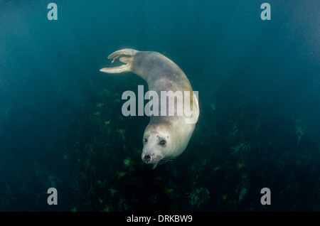Curious young grey seal underwater, Halichoerus grypus, isles of scilly, Britain - Stock Photo