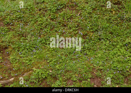 Common Dog-violet, Viola riviniana, abundant on a bank - Stock Photo