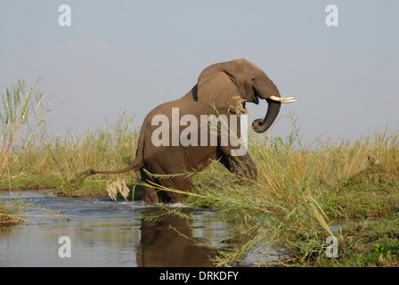 African elephant (Loxodonta africana) emerging from a deep stream - Stock Photo