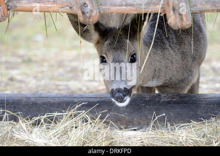 Roe deer in wintertime - 24 January 2014. - Stock Photo