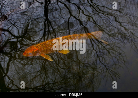 A carp swims in a pool. - Stock Photo