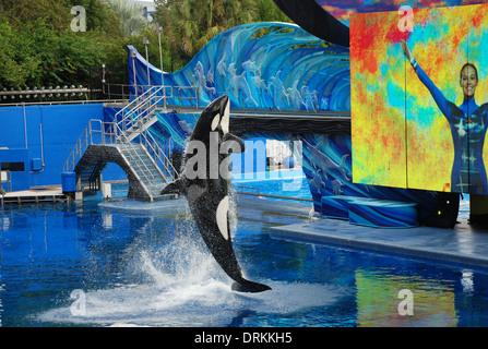 Sea world orlando shamu and the killer whales perform for Pool show usa