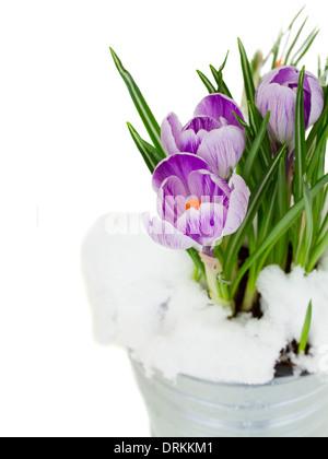 violet crocuses in snow - Stock Photo