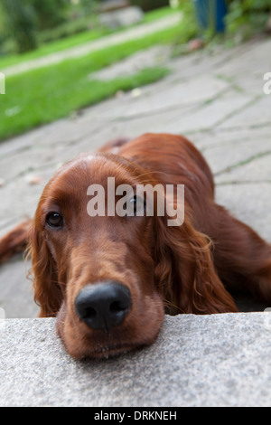 Irish Red Setter dog, outdoors and looking towards the camera. - Stock Photo