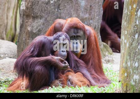 Sumatran Orang Utan Couple - Stock Photo