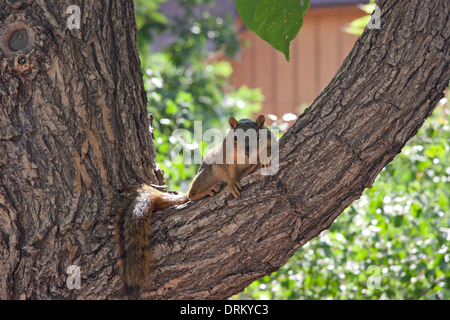 A wary Fox Squirrel - Stock Photo