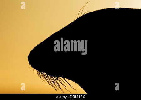 A close-up side profile silhouette of an adult female Grey seal at sunrise, North Sea coast, Norfolk, England - Stock Photo