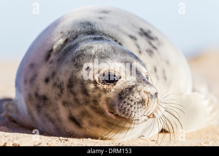 A close-up of a Grey seal pup in its first adult coat, they shed their white natal fur after 2-3 weeks - Stock Photo