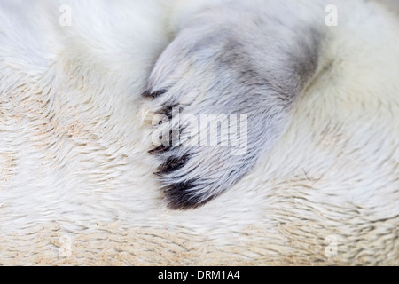 Close-up detail of the fore flipper of a Grey seal pup in white natal fur, North Sea coast, Norfolk, England - Stock Photo