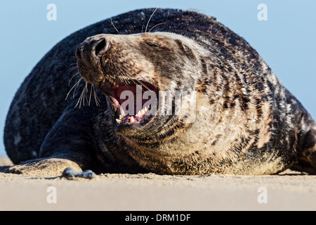 An adult male Grey seal bull asserts his dominance on his beach territory, North Sea coast, Norfolk, England - Stock Photo