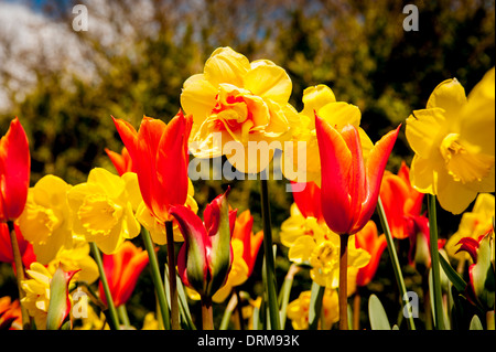 Orange and yellow Tulips and Daffodils - Stock Photo
