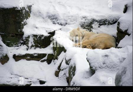 Berlin, Germany. 29th Jan, 2014. A polar bear sleeps in the snow at Berlin Zoo in Berlin, Germany, 29 January 2014. Photo: Daniel Naupold/dpa/Alamy Live News