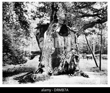 Robin Hood's Oak, Sherwood Forest Royal Forest in Nottinghamshire Photographed Circa 1910 - Stock Photo