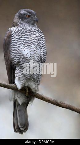 Northern Goshawk (Accipiter gentilis) in nature - Stock Photo