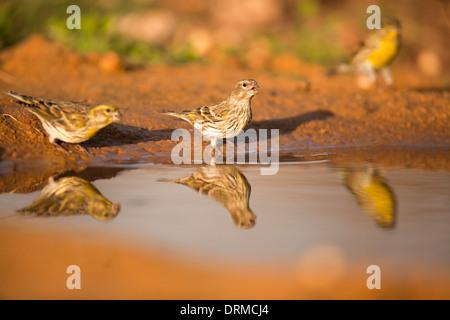 European serin (Serinus serinus). - Stock Photo
