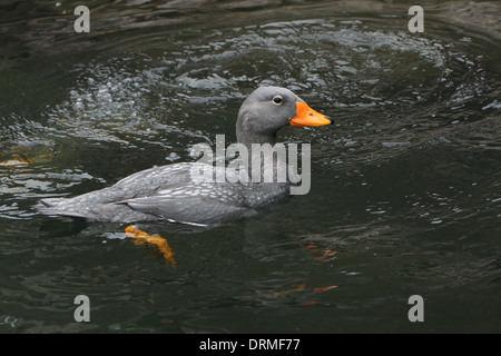 Swimming South American Fuegian Steamer Duck a.k.a. Magellanic Flightless Steamer Duck (Tachyeres pteneres) - Stock Photo
