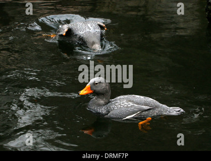 Diving South American Fuegian Steamer Duck Fuegian Steamer Duck a.k.a. Magellanic Flightless Steamer Duck (Tachyeres - Stock Photo