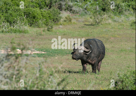 African buffalo (Syncerus caffer), Addo Elephant National Park, Eastern Cape, South Africa - Stock Photo