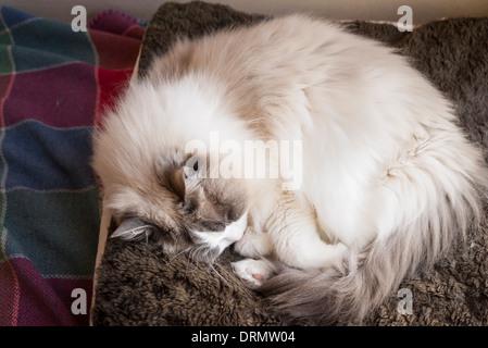 Sleeping adult Ragdoll cat on floor bed - Stock Photo