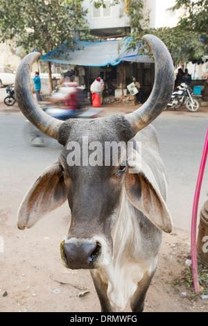 Brahman cow in Ahmedabad, India. - Stock Photo
