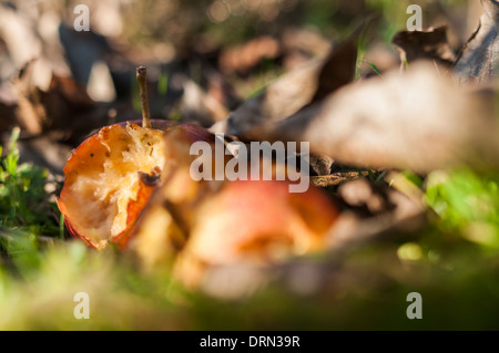 Ground level closeup of partially eaten fallen apples on the ground amongst autumn leaves - Stock Photo