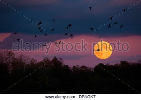 Flock of ducks fly over fool moon. - Stock Photo