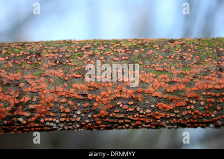 Coral Spot Fungus Nectria cinnabarina Taken At Waters' Edge Country Park, UK - Stock Photo