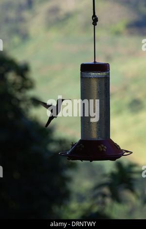 Humming bird approaching feeding station. Costa Rica. - Stock Photo