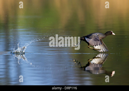 Eurasian coot (Fulica atra) taking off from water of lake - Stock Photo